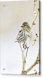 Pine Siskin Acrylic Print
