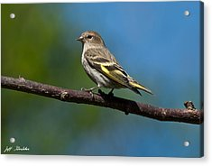 Pine Siskin Perched On A Branch Acrylic Print