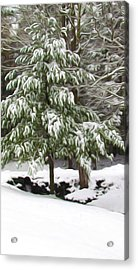 Pine Tree Covered With Snow 2 Acrylic Print by Lanjee Chee