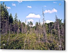 Acrylic Print featuring the photograph Pine Trees Forest by Marek Poplawski