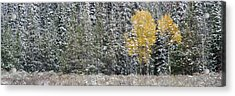 Pine Trees In A Forest, Grand Teton Acrylic Print