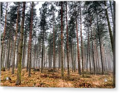 Pine Trees In Morning Fog Acrylic Print by EXparte SE