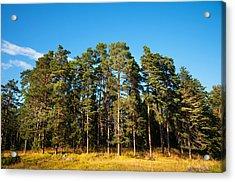 Pine Trees Of Valaam Island Acrylic Print by Jenny Rainbow