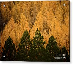 Pine Trees Acrylic Print by Tim Hester