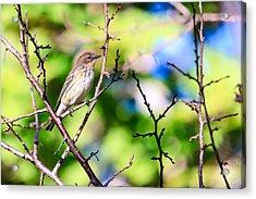 Pine Warbler Acrylic Print