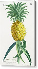 Pineapple Engraved By Johann Jakob Haid Acrylic Print by German School