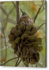 Pinecone Nest Acrylic Print by Sue Cullumber