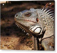 Pinel Island Iguana Acrylic Print
