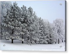 Pines In The Winter Acrylic Print