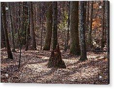 Pinetrees 1 Acrylic Print