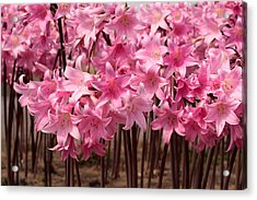 Pink Amaryllis Acrylic Print by Denice Breaux