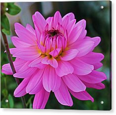 Pink And Beautiful Acrylic Print by Victoria Sheldon