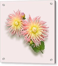 Acrylic Print featuring the photograph Pink And Cream Cactus Dahlia by Jane McIlroy