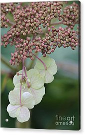 Pink And Green Hydrangea Closeup Acrylic Print by Carol Groenen