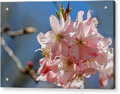 Pink And Pretty Acrylic Print