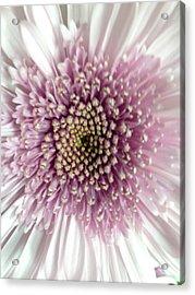 Pink And White Chrysanthemum Acrylic Print