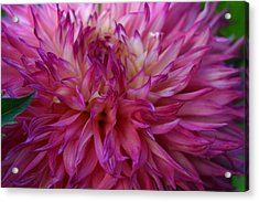 Acrylic Print featuring the photograph Pink And White Dahlia  by Denyse Duhaime