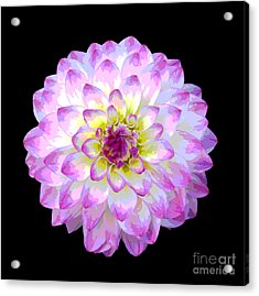 Pink And White Dahlia Posterized On Black Acrylic Print by Rosemary Calvert