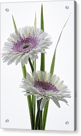 Pink And White Gerbera Acrylic Print