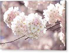 Pink And White Pompoms Of Light Acrylic Print by Lisa Knechtel