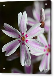Pink And White Acrylic Print