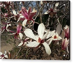 Acrylic Print featuring the photograph Pink And White Spring Magnolia by Caryl J Bohn