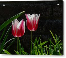 Pink And White Tulip Acrylic Print