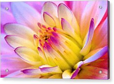 Pink And White Water Lily Acrylic Print