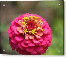 Pink Floral  Acrylic Print