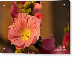 Pink And Yellow Hollyhock Acrylic Print by Sue Smith