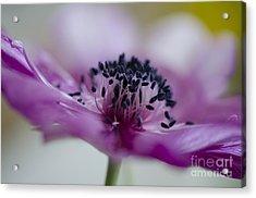 Pink Anemone  Acrylic Print by Nicole Markmann Nelson