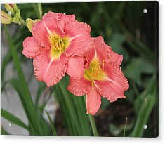 Pink Asiatic Lily Acrylic Print by Allan Levin
