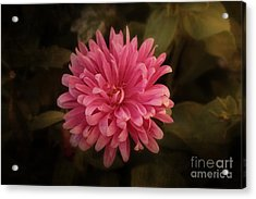Acrylic Print featuring the photograph Pink Aster by Marjorie Imbeau