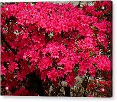 Pink Azaleas Acrylic Print by Virginia Forbes