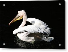 Pink Backed Pelican Acrylic Print by Bonnie Fink