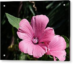 Acrylic Print featuring the painting Pink Beauty by Janina  Suuronen