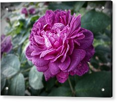 Pink Beauty Acrylic Print by Linda Unger
