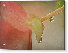 Acrylic Print featuring the photograph Pink Begonia And Water Drops by Peggy Collins