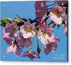 Pink Blossoms-3 Acrylic Print by Dale Nelson