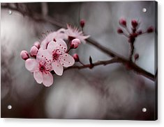 Pink Blossoms Acrylic Print by Michelle Wrighton