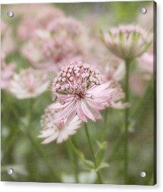 Pink Blush Acrylic Print by Kim Hojnacki
