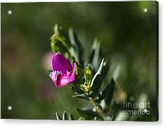Pink Blush - Sweet Pea Bush  Acrylic Print by Joy Watson