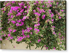 Pink Bougainvillea Growing On Wall Acrylic Print by Rosemary Calvert