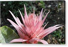 Pink Bromeliad  Bloom Acrylic Print