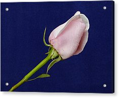 Pink Bud Acrylic Print