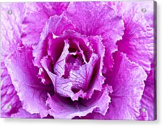 Pink Cabbage Acrylic Print