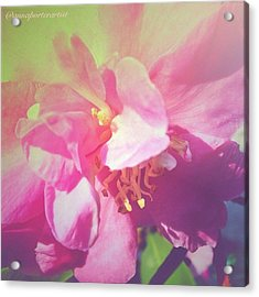 Pink Camellia Vintique Edit Acrylic Print by Anna Porter