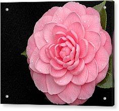 Pink Camellia After Rain Acrylic Print