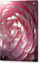 Pink Camellia Closeup Acrylic Print by Carol Groenen