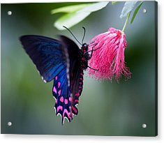Acrylic Print featuring the photograph Pink Cattleheart Butterfly by Zoe Ferrie